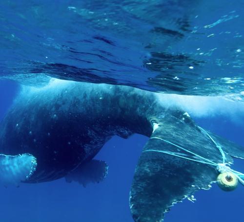 entangled humpback